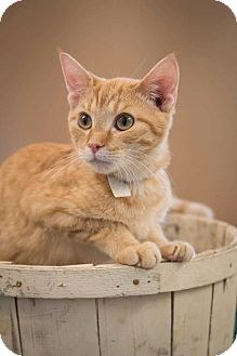 Domestic Shorthair Cat for adoption in Madionsville, Kentucky - Nike