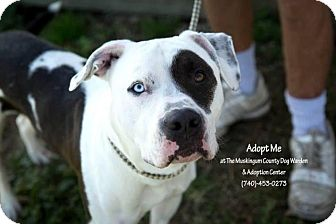 American Pit Bull Terrier Mix Dog for adoption in Zanesville, Ohio - Patches - ADOPTED!