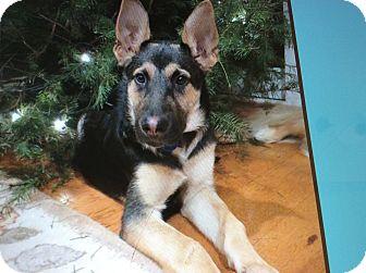 German Shepherd Dog Puppy for adoption in Los Angeles, California - REEVEN VON RHAMES