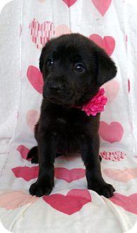German Shepherd Dog/Labrador Retriever Mix Puppy for adoption in Newark, Delaware - Sandy