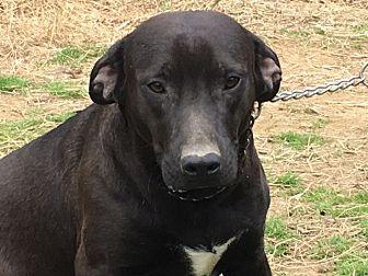 Labrador Retriever Mix Puppy for adoption in Staunton, Virginia - Gambler