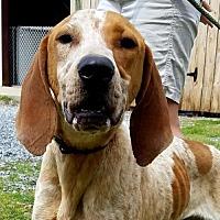 Adopt A Pet :: Ruckus - Waynesville, NC