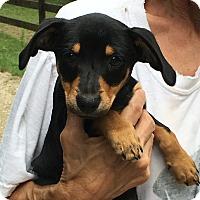Adopt A Pet :: Blair - an adorable little - Stamford, CT