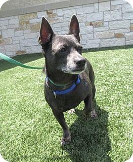 Chihuahua/Dachshund Mix Dog for adoption in North Richland Hills, Texas - Smokey Bear (Shadow)