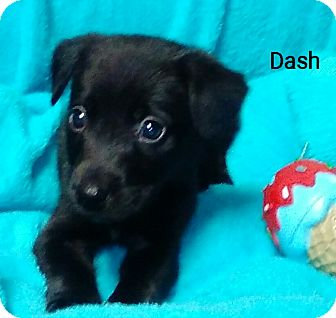 Border Collie/Shepherd (Unknown Type) Mix Puppy for adoption in Southington, Connecticut - Dash