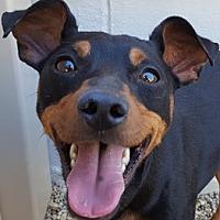 Adopt A Pet :: Joker - Bloomington, IL