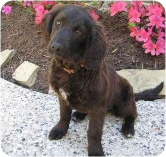 Spaniel (Unknown Type)/Labrador Retriever Mix Dog for adoption in Humble, Texas - Lacie