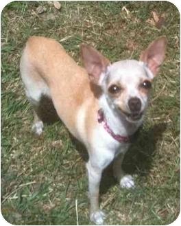 Beagle/Shiba Inu Mix Dog for adoption in Cocoa, Florida - Sheba & Inu