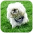 Photo 4 - Shih Tzu Dog for adoption in Ile-Perrot, Quebec - Coco
