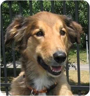 Collie/Australian Shepherd Mix Dog for adoption in Overland Park, Kansas - Phoenix