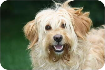 Wheaten Terrier/Cairn Terrier Mix Dog for adoption in West Milford, New Jersey - BEN