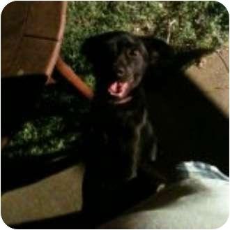 Labrador Retriever Mix Dog for adoption in Haughton, Louisiana - Pepper
