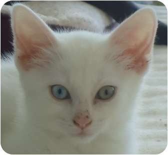Domestic Shorthair Kitten for adoption in Chicago, Illinois - Lammy Bleu