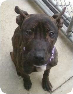 Whippet/Bull Terrier Mix Puppy for adoption in Oak Ridge, New Jersey - Shelly