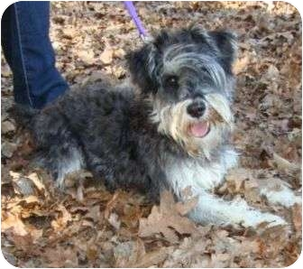Schnauzer (Miniature) Dog for adoption in Spring Valley, New York - Mr Spock
