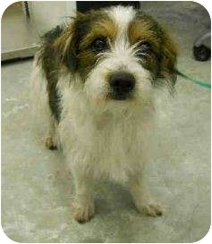 Jack Russell Terrier Mix Dog for adoption in San Clemente, California - TERRY