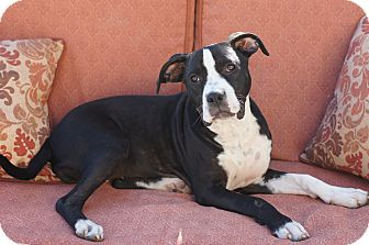 Pit Bull Terrier Mix Dog for adoption in Tustin, California - Lady