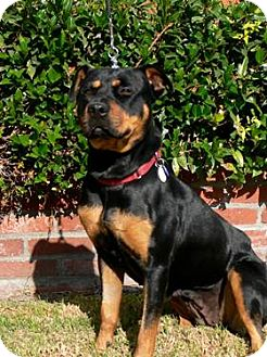 Rottweiler Dog for adoption in Santa Monica, California - Janie