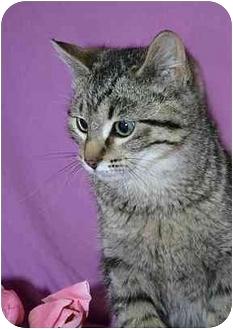 Domestic Shorthair Kitten for adoption in Ladysmith, Wisconsin - Henry