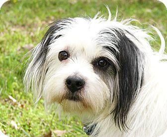 Shih Tzu/Spaniel (Unknown Type) Mix Dog for adoption in Mocksville, North Carolina - Topple