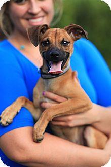 Pug/Italian Greyhound Mix Puppy for adoption in Miami, Florida - PANCHITO