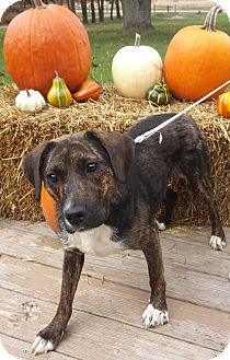 Labrador Retriever/Plott Hound Mix Dog for adoption in Rochester, Michigan - Ellie Mae