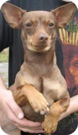 Chihuahua/Miniature Pinscher Mix Dog for adoption in Philadelphia, Pennsylvania - Chi Chi