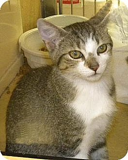 Domestic Shorthair Kitten for adoption in Miami, Florida - Jill