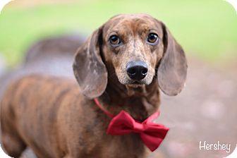 Dachshund Dog for adoption in Gig Harbor, Washington - Hershey