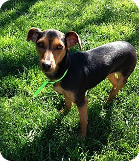 Miniature Pinscher/Dachshund Mix Puppy for adoption in Woodland, California - Lili