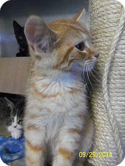 Domestic Shorthair Kitten for adoption in China, Michigan - Vinny