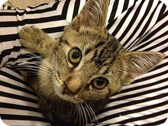 Bengal Kitten for adoption in Newport Beach, California - Trevor