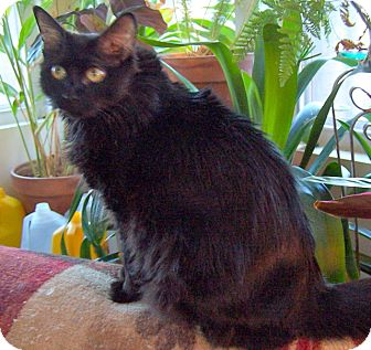 Domestic Mediumhair Cat for adoption in Anchorage, Alaska - Whiskers aka Sweetie