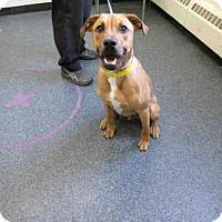 Adopt A Pet :: Amp - Toledo, OH
