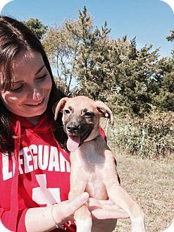Labrador Retriever/Terrier (Unknown Type, Medium) Mix Puppy for adoption in Ocean View, New Jersey - Kris