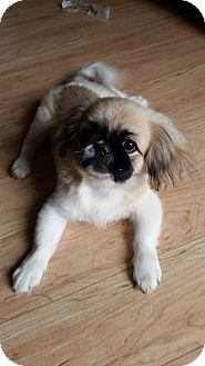 Pekingese Dog for adoption in Snyder, Texas - Daphne
