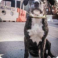 Adopt A Pet :: Ruppert - New York, NY