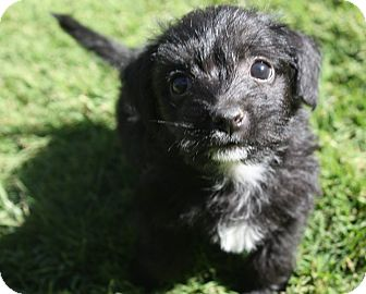 Poodle (Miniature)/Terrier (Unknown Type, Small) Mix Puppy for adoption in Henderson, Nevada - Ava