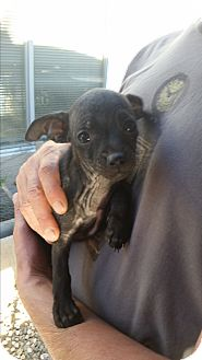 Dachshund/Chihuahua Mix Puppy for adoption in temecula, California - Krunch