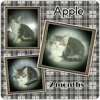 Domestic Shorthair Kitten for adoption in Richmond, California - Apples