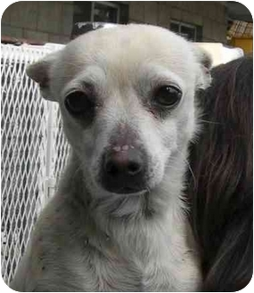 Chihuahua Mix Dog for adoption in Rolling Hills Estates, California - Garrison