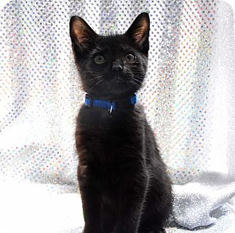 Domestic Shorthair Kitten for adoption in Bristol, Connecticut - Finn