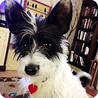 Terrier (Unknown Type, Small) Mix Dog for adoption in Tijeras, New Mexico - Tyke