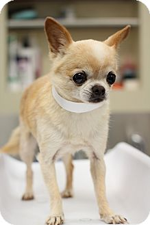 Chihuahua Mix Dog for adoption in College Station, Texas - Chai (3.3 pounds)