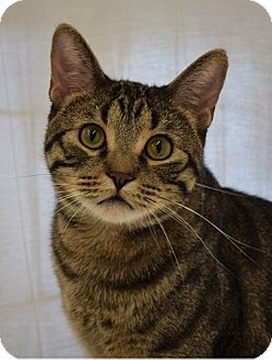 Domestic Shorthair Cat for adoption in Hillside, Illinois - Jackson-ACTIVE, PLAYFUL, SWEET