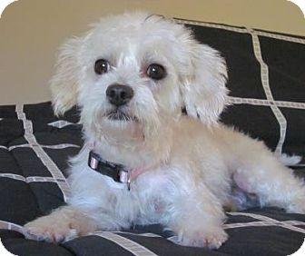 Maltese/Poodle (Miniature) Mix Dog for adoption in Carlsbad, California - Bridget