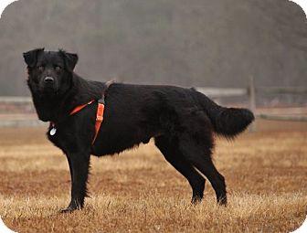 Collie Mix Dog for adoption in Pinehurst, North Carolina - Licorice-Adoption Pending