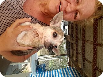 Chihuahua Dog for adoption in Palm Bay, Florida - Chico