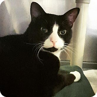 Domestic Shorthair Cat for adoption in Lafayette, New Jersey - Shadow