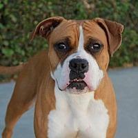 Adopt A Pet :: Luna - Fremont, CA